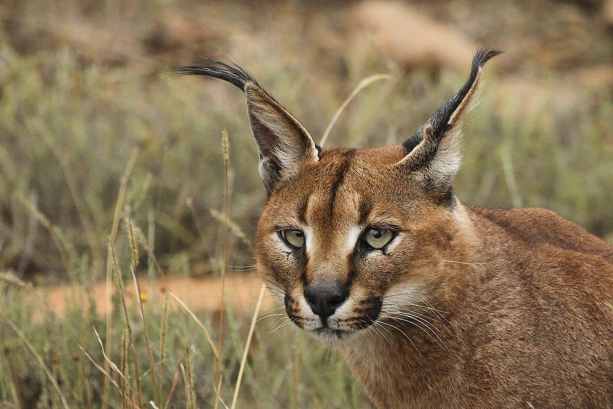 Последнее появление крупной кошки в дикой природе ОАЭ было зафиксировано в 1984 году \ Wikimedia Commons