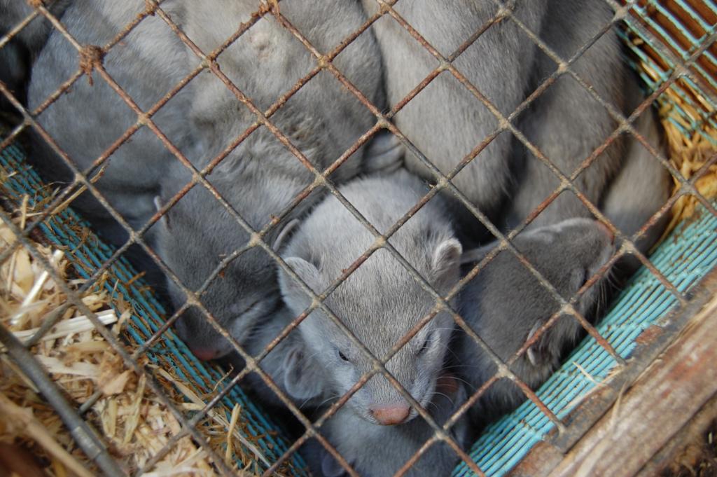 В Україні діє 37 ферм з розведення хутрових тварин / Фото: vova-comment.livejournal.com