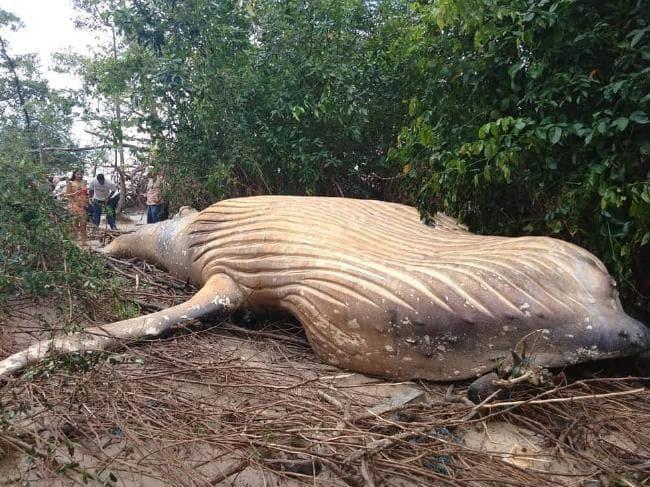 В устье Амазонки нашли мертвого 11-метрового кита / bicho_dagua/Instagram