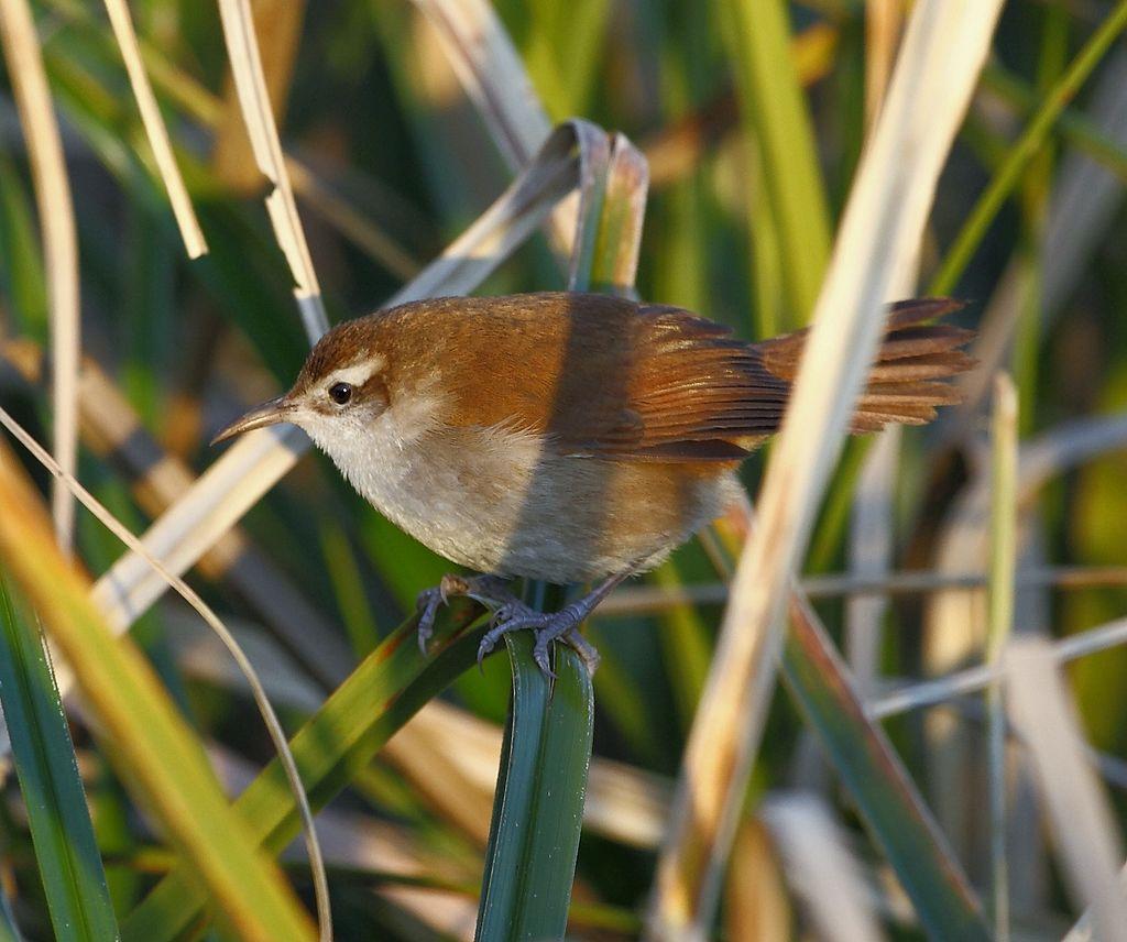 Птицы семейства Limnornis curvirostrisвызывают тревогу у экологов / фото Hector Bottai / wikipedia.org