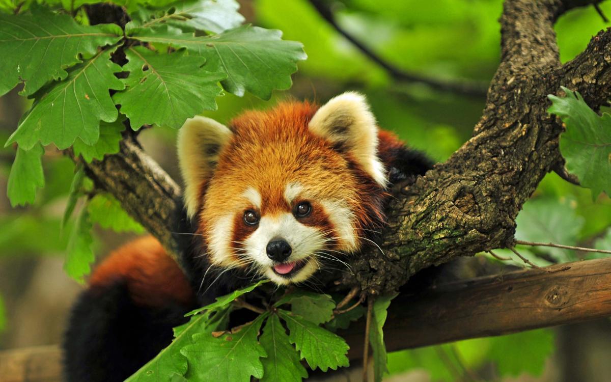 Червоних панд існує два види \ yandex.ru