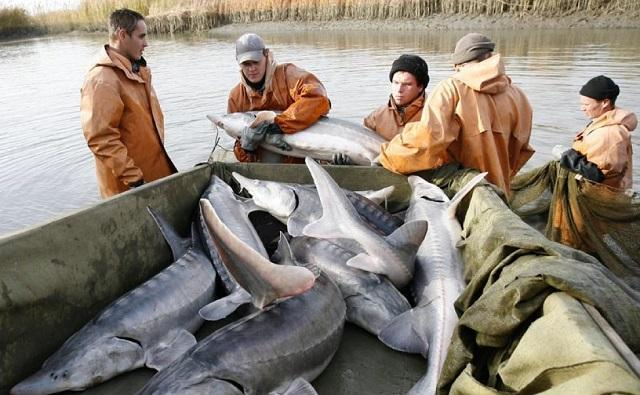 Вирощений в Ростовській області на бюджетні гроші осетер волів поплисти в Україну / фото liter.kz