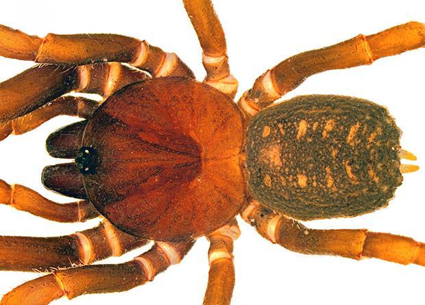 У Колумбії знайшли павуків-штурмовиків / Carlos Perafan