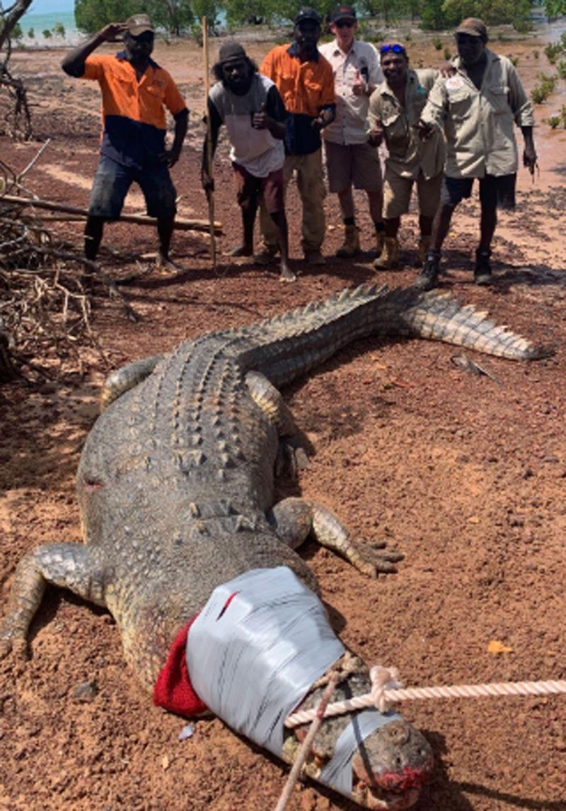 Позже животное доставили на крокодиловую ферму / фото: Matt Wright