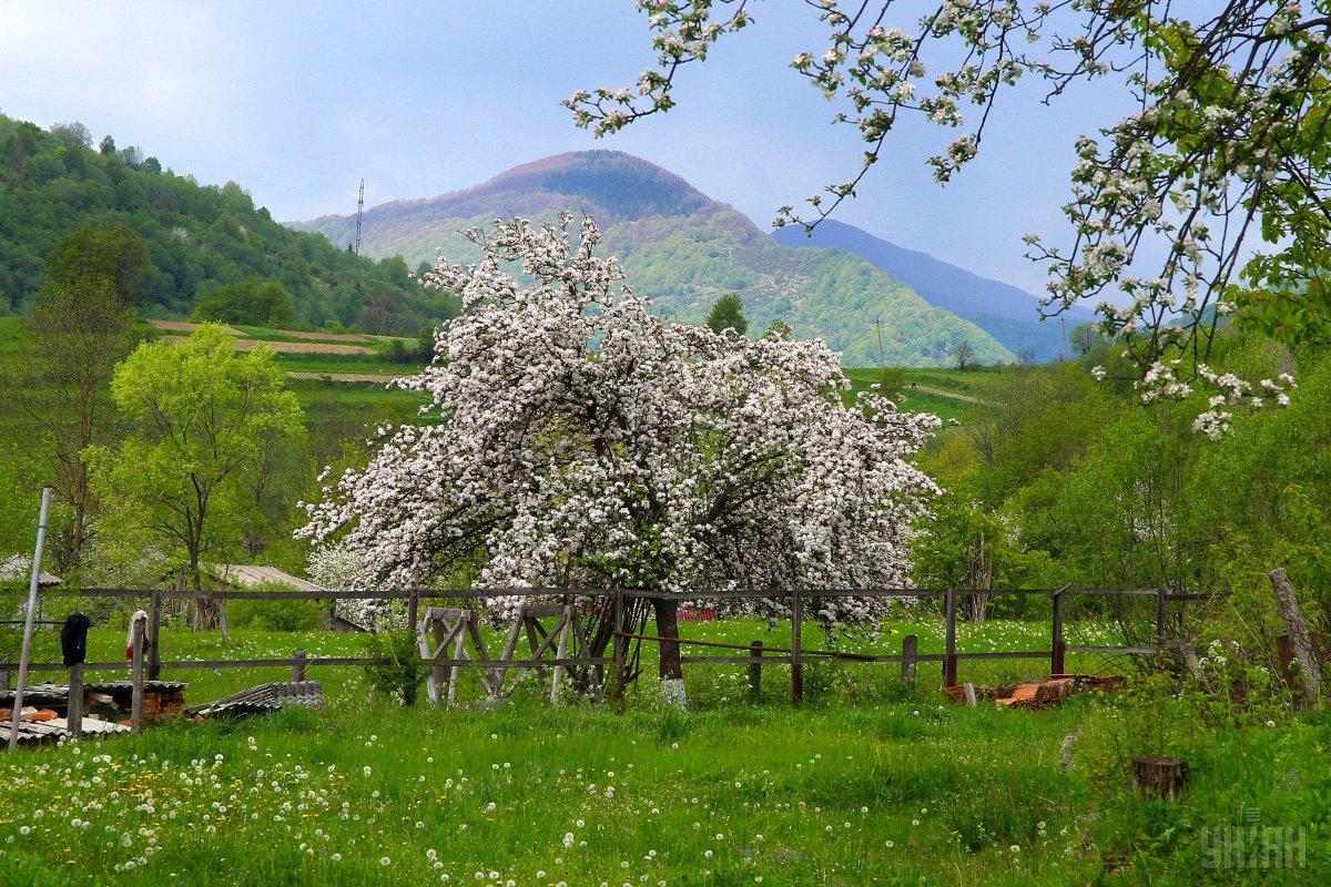 Цветущая яблоня / фото УНИАН
