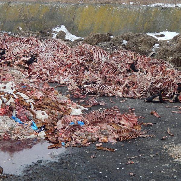 У лютому 2019 року поблизу Тернополя виявили стихійний скотомогильник. Підприємство, яке викинуло рештки тварин, досі їх так і не вивезло / фото управління Держпродспоживслужби в Тернопільській області