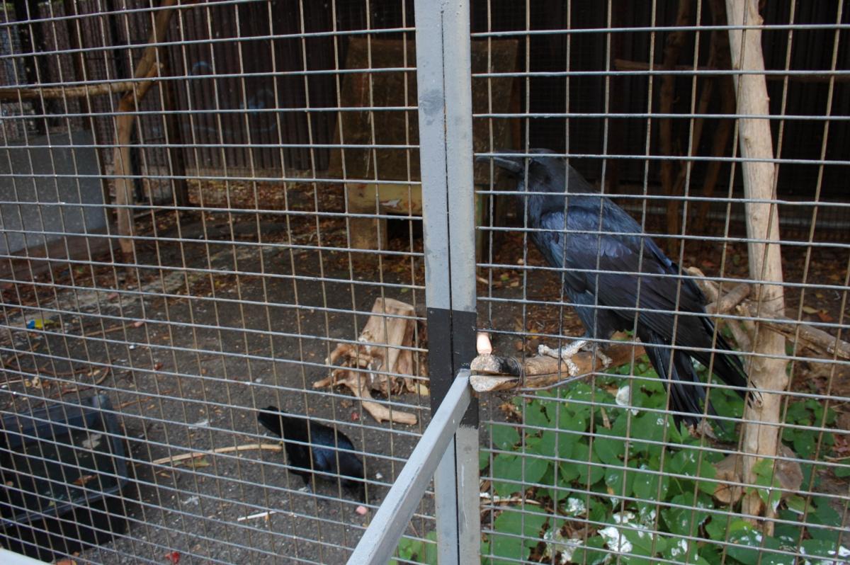 Вороны – очень дружелюбные и любят внимание / Фото google.com.ua
