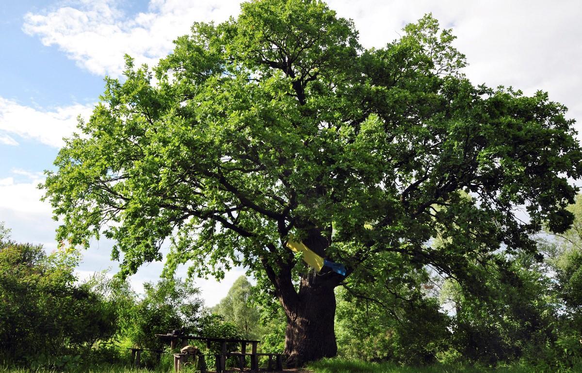 500-летний дуб на острове / Фото livejournal.com