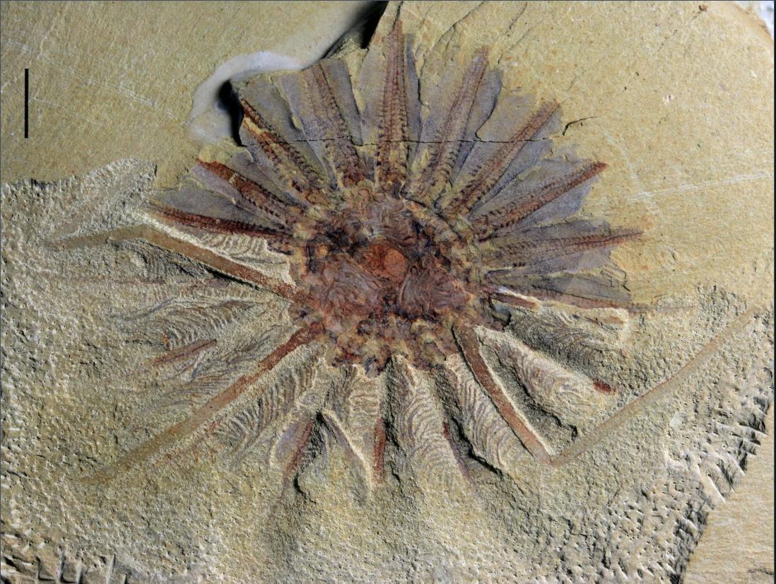 Завдяки викопному нам вдалося розібратися в походженні гребнивика/ Фото: Live Science