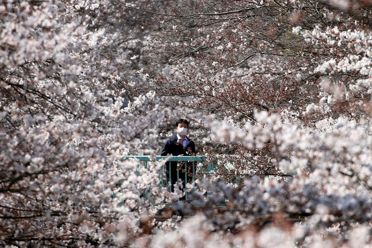 Сезон цветения сакуры обычно привлекает немало туристов / Фото REUTERS