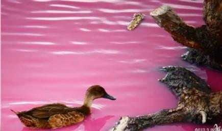 Местная власть говорит, что солено-розовая вода не вредит фауне / скриншот видео ТСН