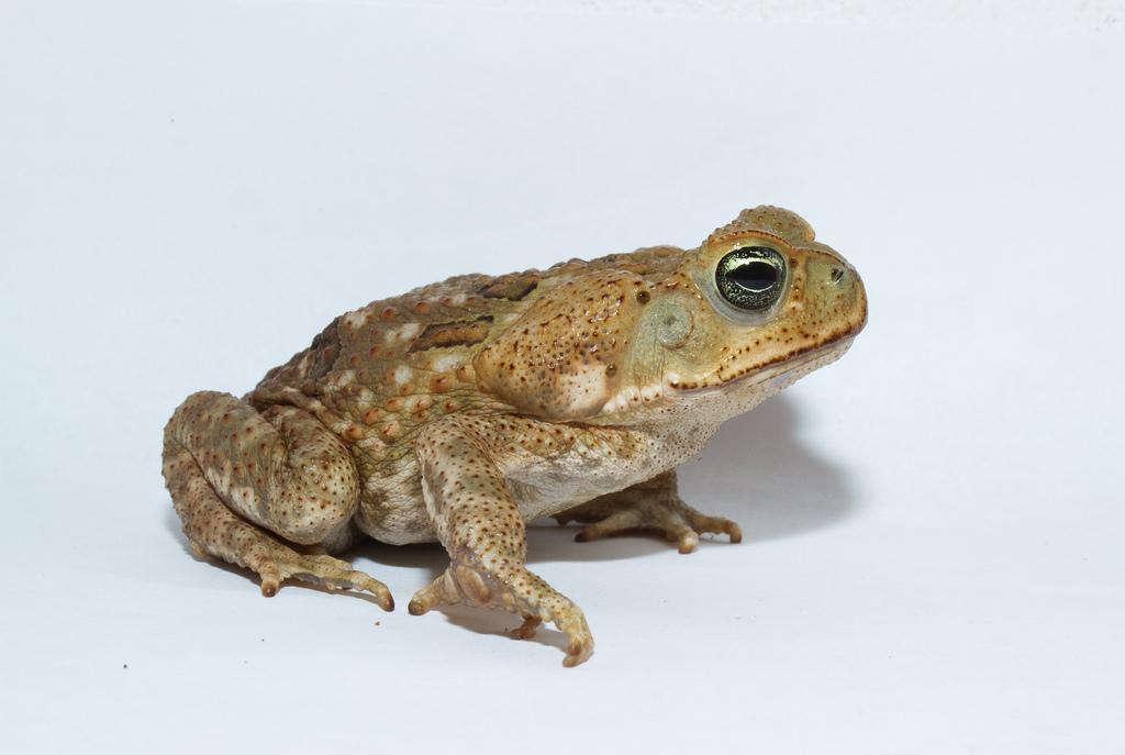 В опасных ситуациях жабы выделяют ядовитую субстанцию / фото flickr.com/briangratwicke