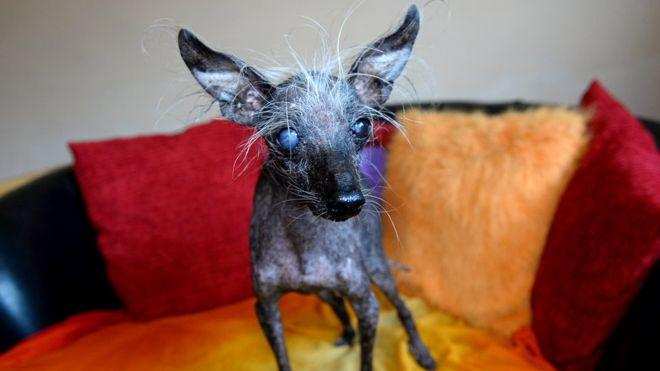 Чейз занял третье место на всемирном конкурсе уродливых собак / Фото из открытых источников