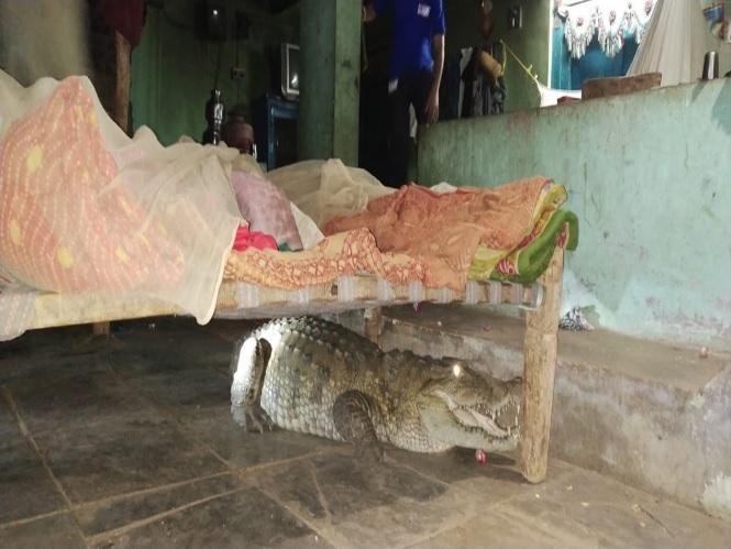 Під ліжком зачаївся великий крокодил / фото TOI