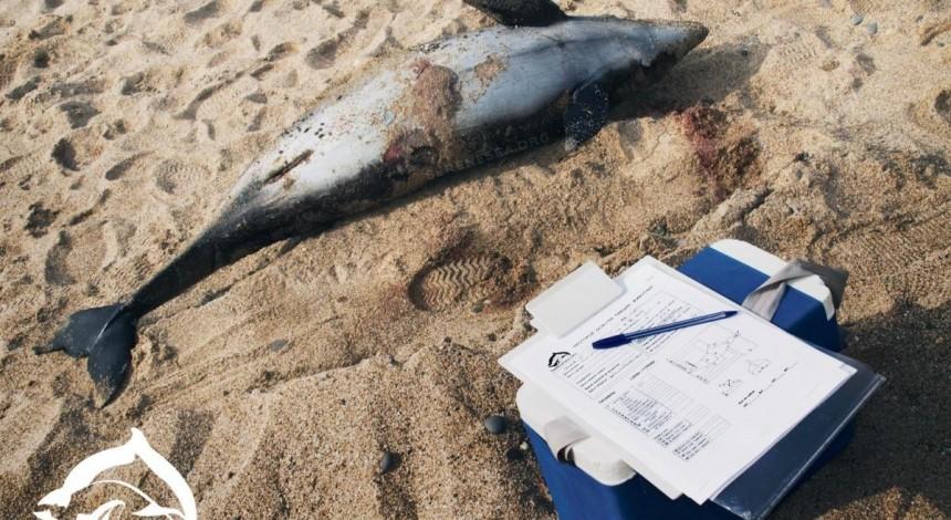 У берегов оккупированной Евпатории массово гибнут дельфины