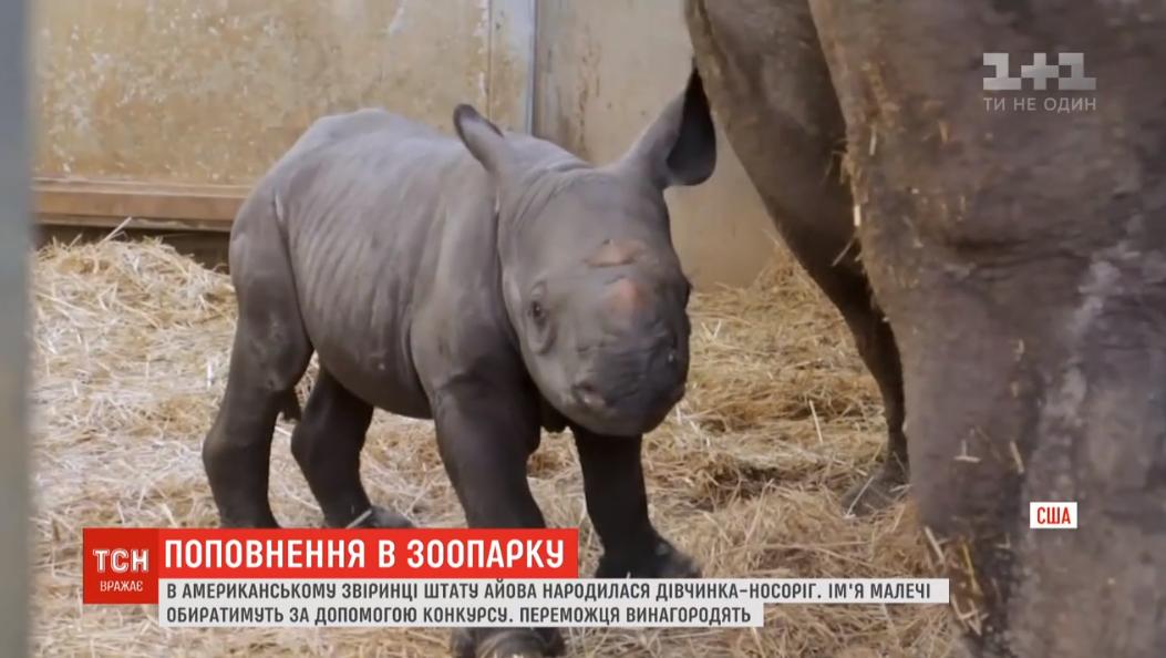 В американском зверинце в семье редких африканских носорогов родилась девочка / скриншот видео ТСН