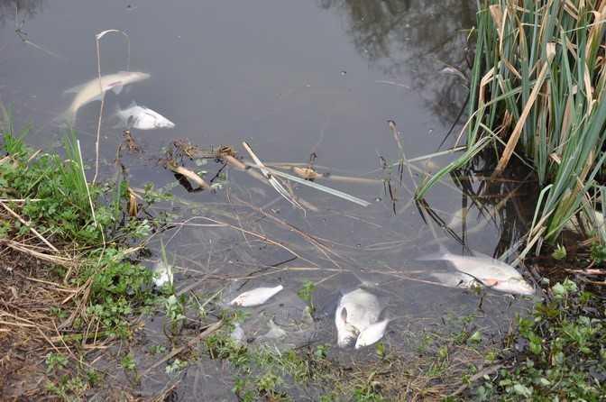 Загинули соми, коропи та інша риба / фото прес-служба Барановської РТГ