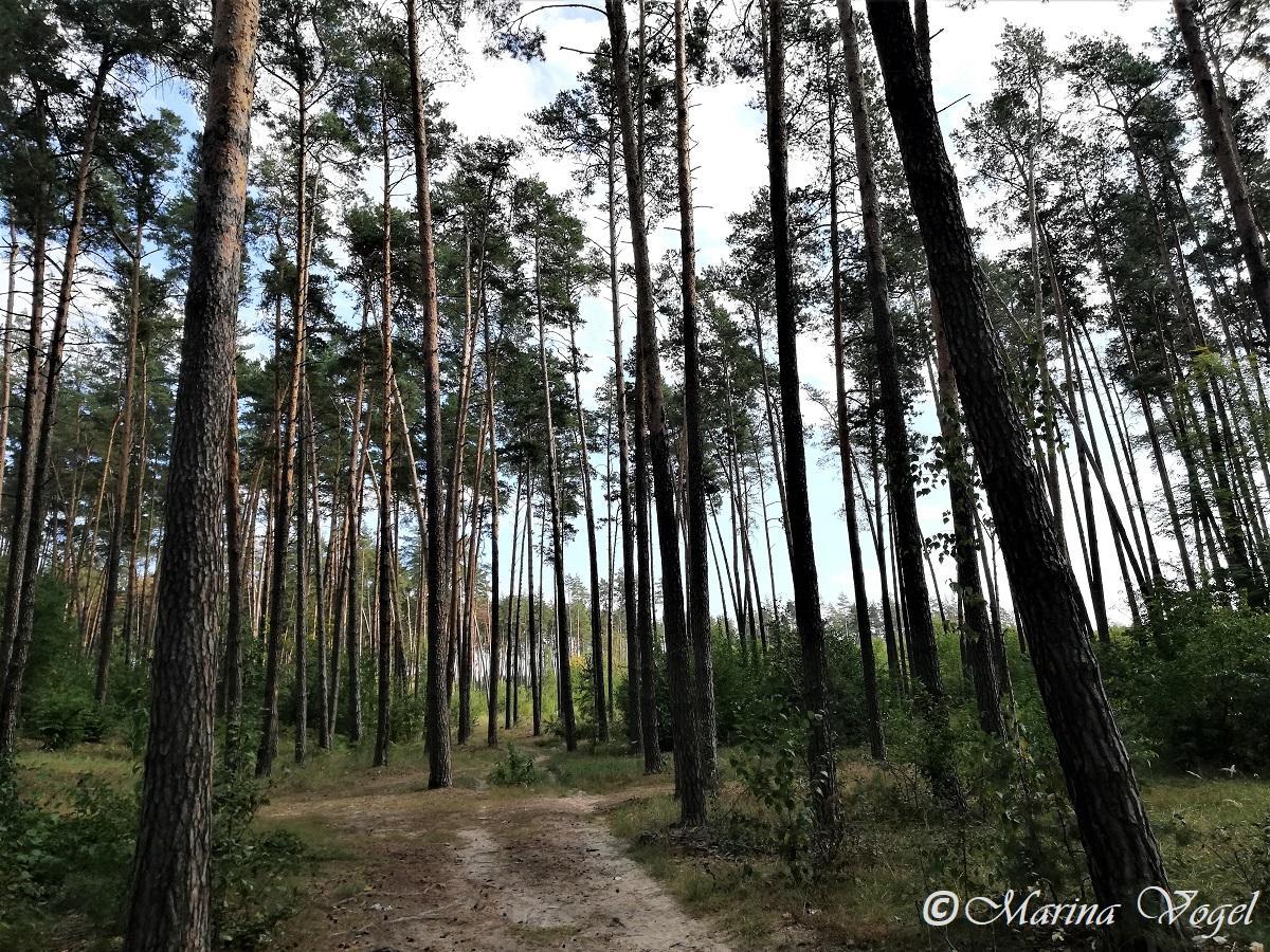 Коростышевский лесхоз отлично подходит для прогулок / Фото Марина Григоренко