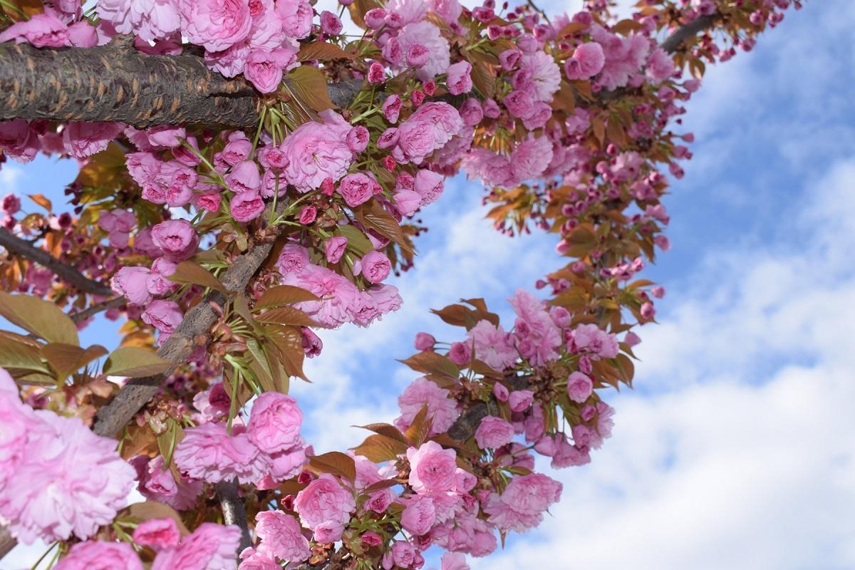 В Черновцах цветут сакуры / фото УНИАН