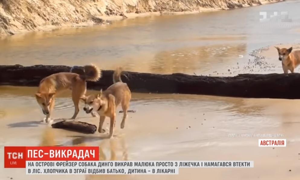 В Австралії дикий собака викрав малолітню дитину / Скріншот - ТСН