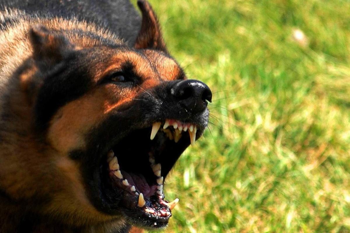 Вівчарка не була щеплена проти сказу / Фото kaluga24.tv
