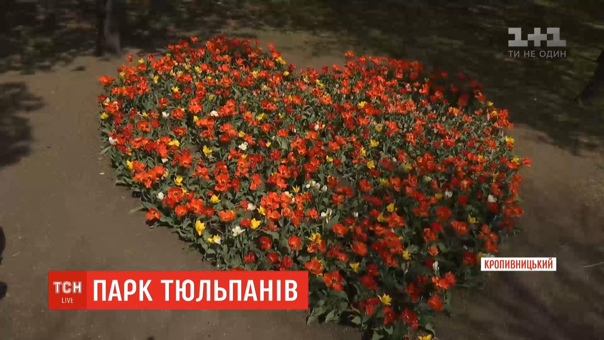 В этом году сезон цветения тюльпанов в центре Украины продлится дольше / скриншот