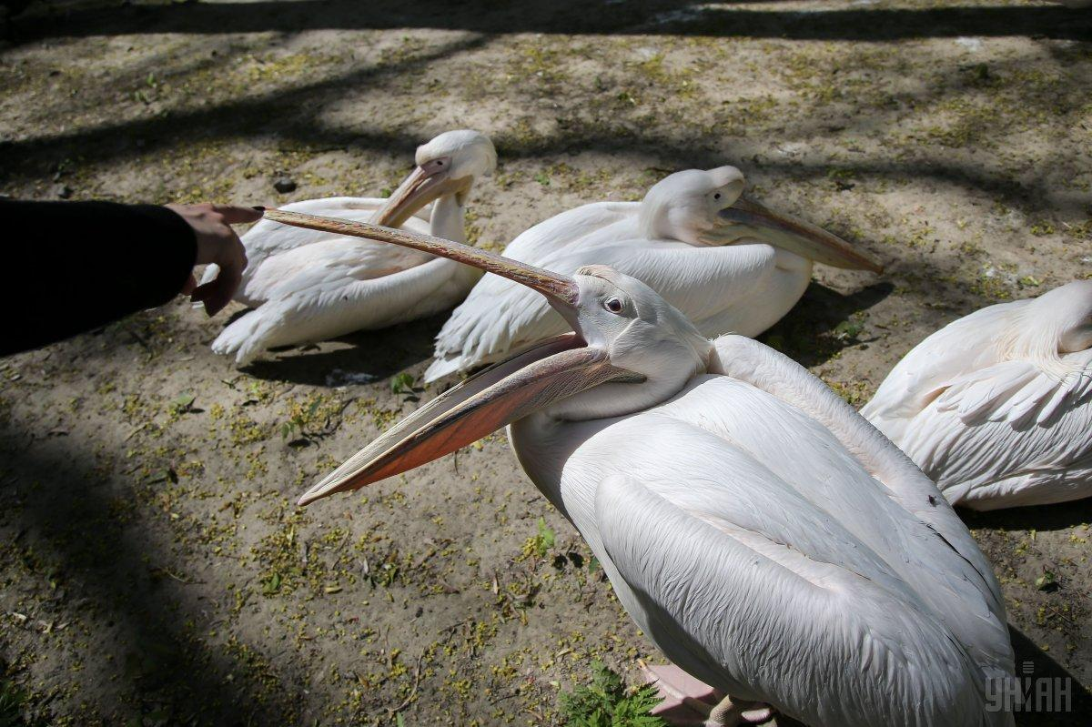 Пеликаны в Киевском зоопарке / Фото УНИАН