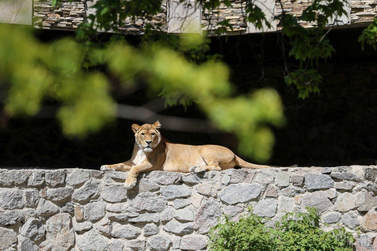 Львы любят принимать солнечные ванны / Фото УНИАН