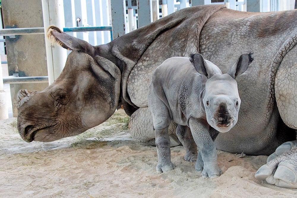 Носорог стал первым ребенком для 7-летней Акуты / фото facebook.com/zoomiami, Ron Magill