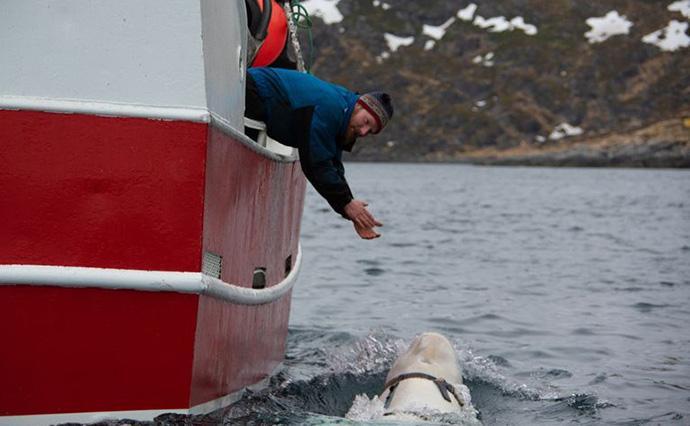 Норвежские рыбаки обнаружили белуху с камерой / фото морской биолог и инспектор морской службы управления рыболовства Норвегии Йорген Вииг, Verdens Gang