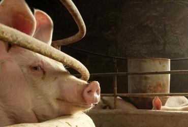 В Китае родилась первая в мире химера обезьяны и свиньи