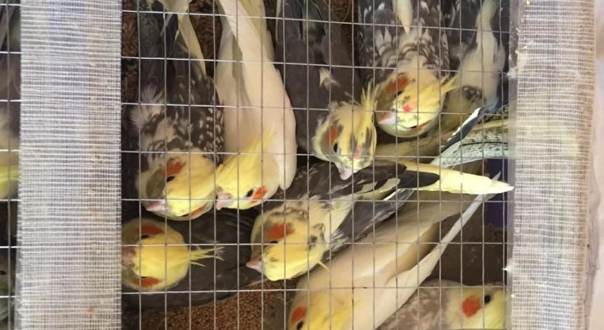 На границе с Беларусью пограничники задержали украинца с более 150 контрабандных попугаев (фото, видео)