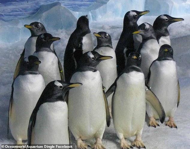 Королевские пингвины часто демонстрируют гомосексуальное поведение в неволе / фото: Dingle Oceanworld Aquarium
