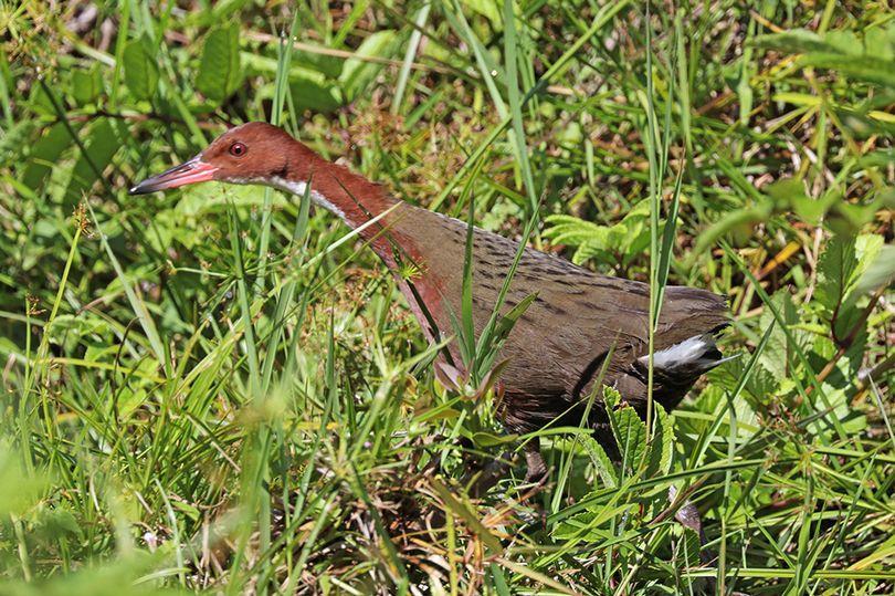 Здатністьлітати птахи втрачають через те, що на острові немає хижаків  / фото commons.wikimedia