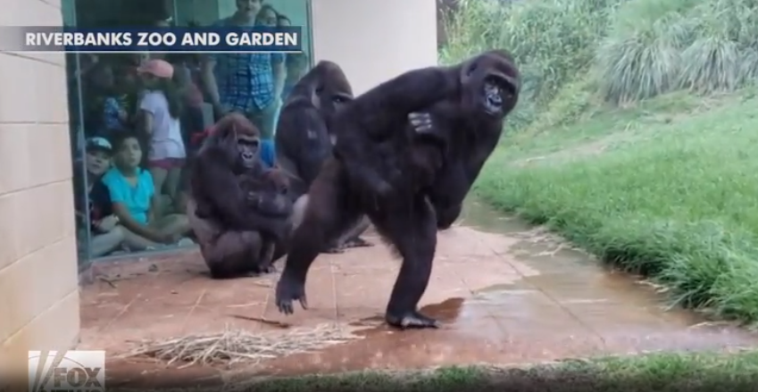 Две гориллы держат детей на руках / скриншот