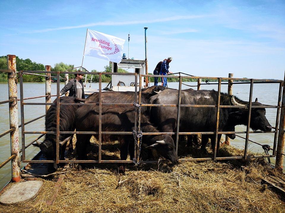 Транспортировка на остров в Одесскую область стада из 7 голов - первое из серии подобных мероприятий / фото Rewilding Ukraine