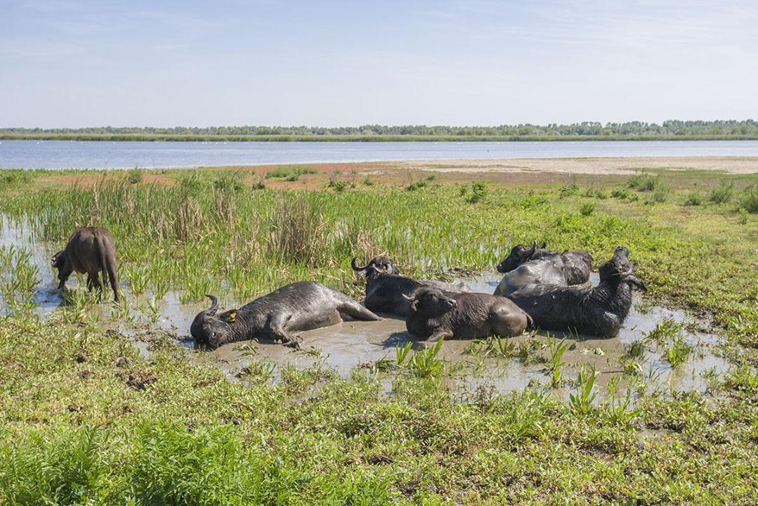 Водяные буйволы своего рода - «архитекторы природы» / фото Rewilding Ukraine