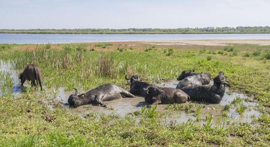 На живописный остров Ермаков в Дунайском биосферном заповеднике завезли водяных буйволов (фото, видео)