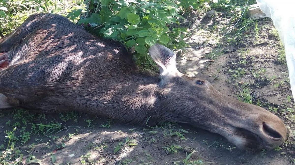 Животное погибло на частном подворье \ Фото Ирина Мочульская