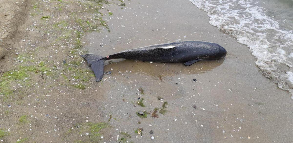 Тело дельфина обнаружила местная жительница / фото Facebook Евы Поляк