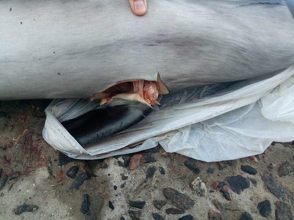 Найденногов Одессе детеныша дельфина зарезали \ фото - Черноморский рибоохоронний патруль