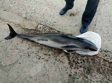 Обнаруженное животное – морская свинья \ фото - Черноморский рибоохоронний патруль