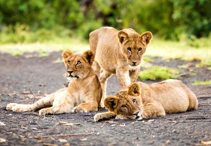 З нацпарку Крюгера втік прайд левів \ .disney.com