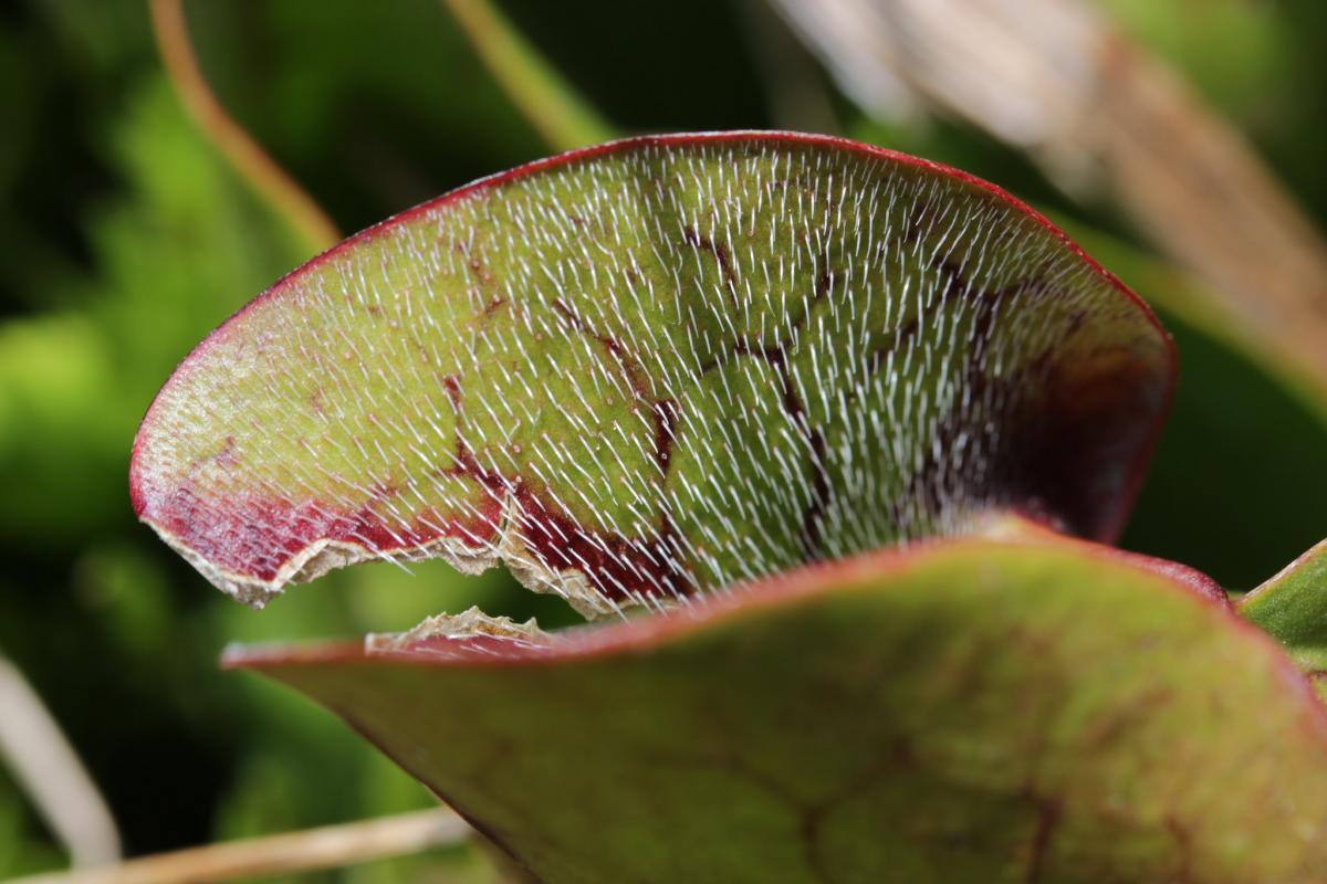 Саррацения пурпурная пожирает маленьких ящериц / Flickr/Björn S