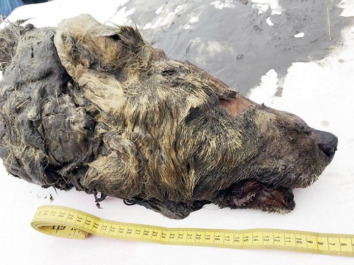 Длина его головы составляет 40 сантиметров/ фото: National Geographic Россия