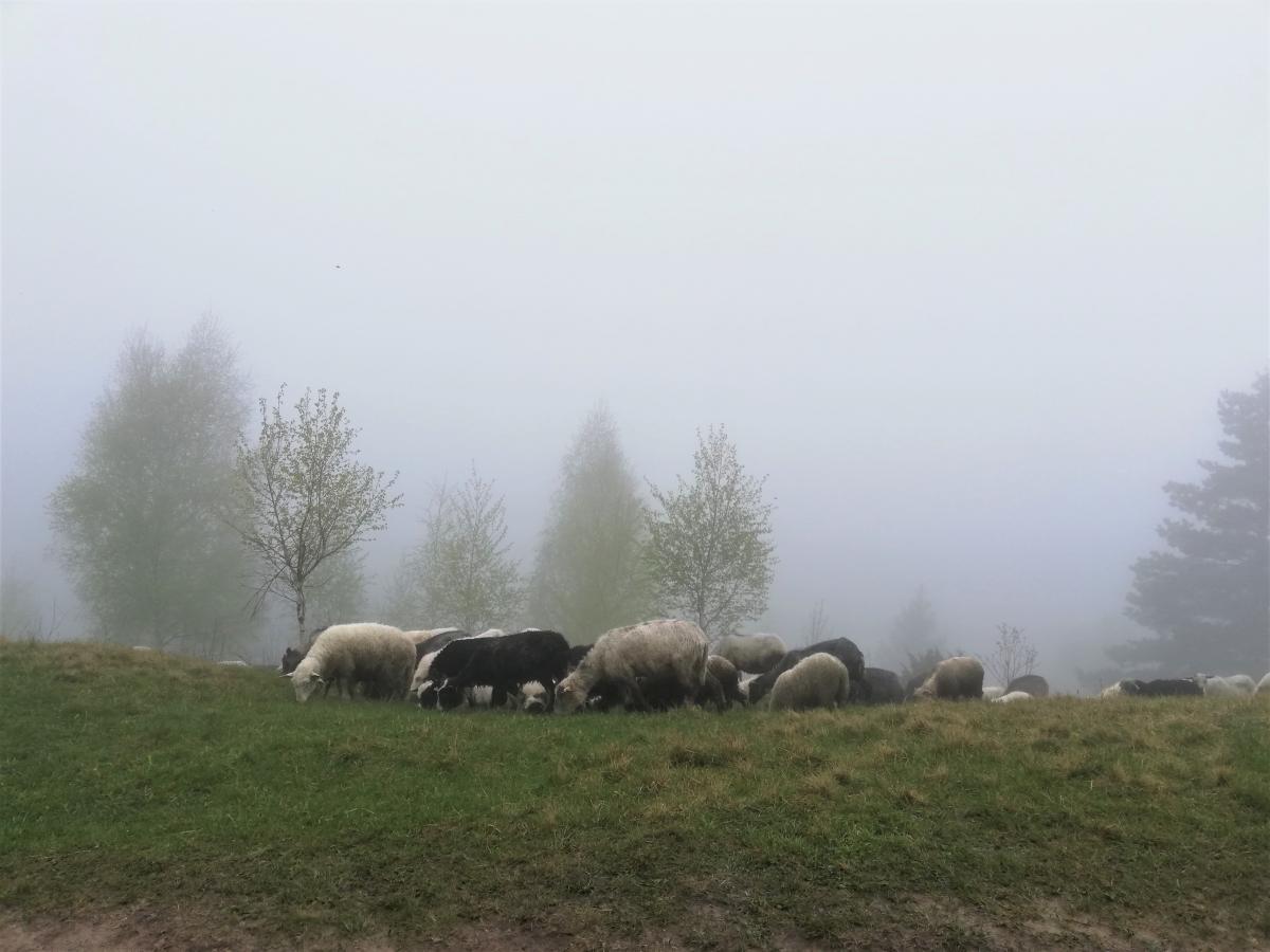 Овцы на полонине Маковица / Фото Марина Григоренко