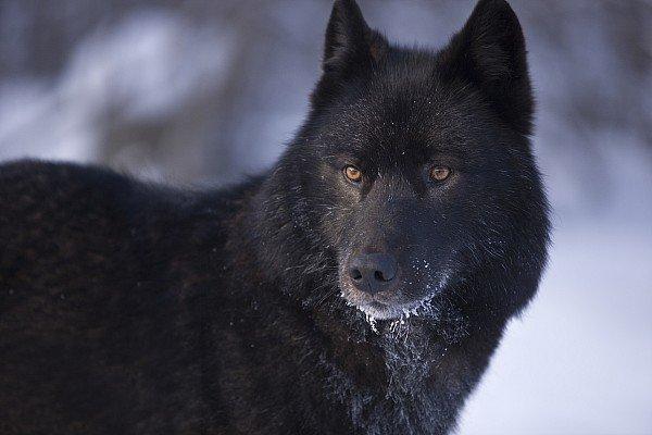 В Красноярске хотят отстреливать бродячих собак/ фото gx.net.ua