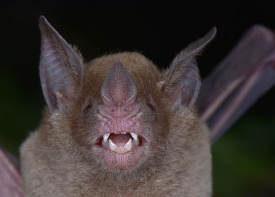 Бледноголовую летучую мышь Phylloderma stenops никто не видел вот уже 75 лет / фото Trond Larsen/ conservation.org