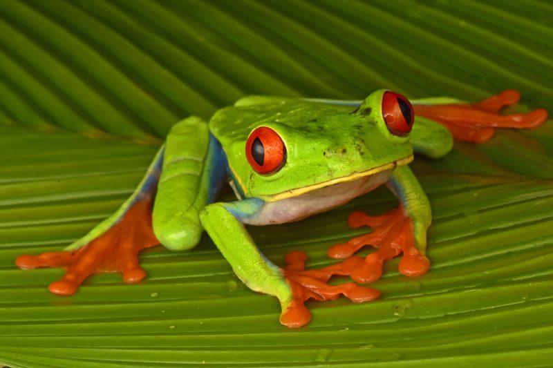 Красноглазые древесные лягушки являются одним из 56 видов рептилий и амфибий, найденных командой / фото Trond Larsen/ conservation.org