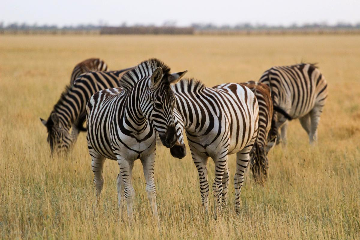 В Аскании-Нова большое стадо зебр / Фото Департамент туризма и курортов Херсонской ОГА